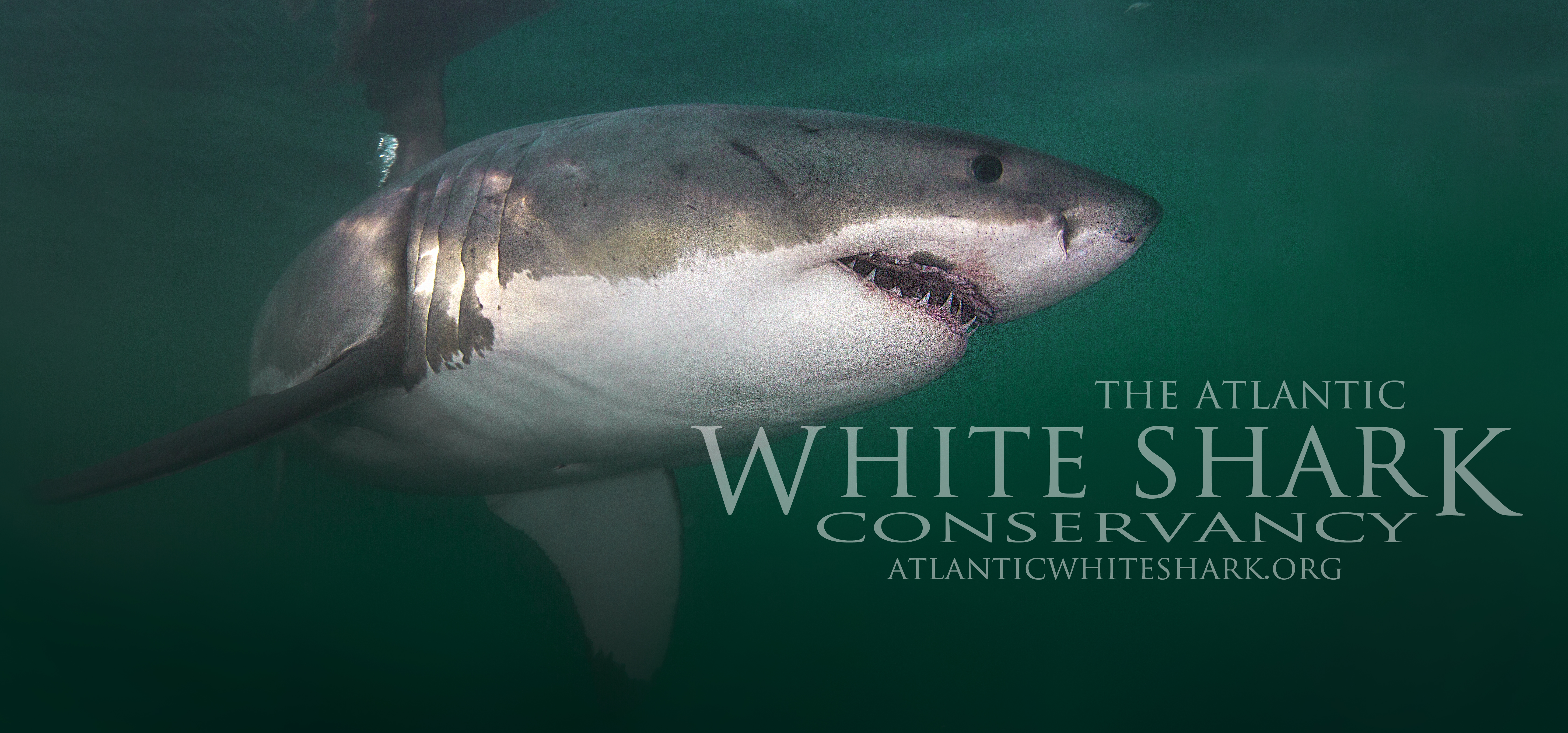 atlantic white shark conservancy banner